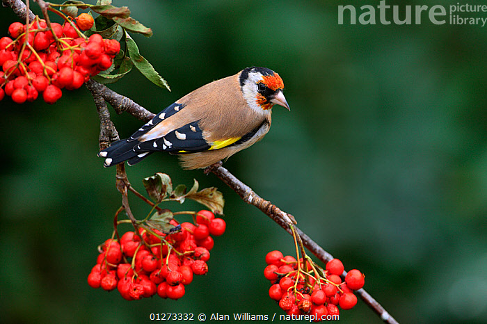 Goldfinch (Carduelis carduelis) perched on Rowan tree branch, Cheshire, UK, September., AUTUMN,BERRIES,BIRDS,ENGLAND,EUROPE,FINCHES,FRUITS,GARDENS,RED,ROWAN,SORBUS SP,UK,VERTEBRATES, United Kingdom, Alan Williams
