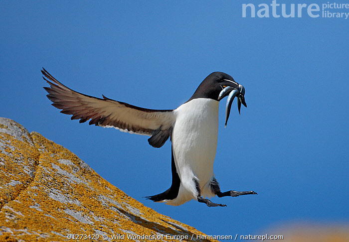 Razorbill (Alca torda) landing on rock carrying fish, Saltee Islands, County Wexford, Ireland, June 2009, AUKS,BIRDS,EIRE,EUROPE,FISH,FLYING,IRELAND,LANDING,LICHENS,P�L HERMANSEN,ROCKS,SEABIRDS,VERTEBRATES,WWE,Plants, Wild Wonders of Europe / Hermansen