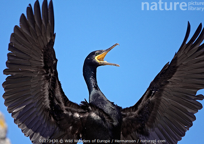 Shag (Phalacrocorax aristotelis) calling with wings stretched out, Saltee Islands, County Wexford, Ireland, June 2009  ,  BIRDS,CORMORANTS,CUTOUT,EIRE,EUROPE,IRELAND,P�L HERMANSEN,SEABIRDS,VERTEBRATES,VOCALISATION,WINGS,WWE  ,  Wild Wonders of Europe / Hermansen