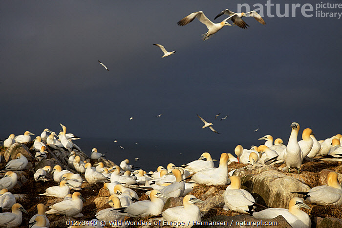 Gannet (Morus bassanus) colony, Saltee Islands, County Wexford, Ireland, June 2009  ,  bassana, BIRDS, CLIFFS, COASTS, EIRE, EUROPE, GANNETS, GROUPS, IRELAND, NESTS, P�l-Hermansen, ROCKS, SEABIRDS, VERTEBRATES, WWE,Geology  ,  Wild Wonders of Europe / Hermansen