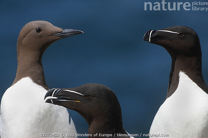 Two Razorbills (Alca torda) and a Common guillemot (Uria aalge) Saltee Islands, County Wexford, Ireland, June 2009  ,  AUKS,BIRDS,EIRE,EUROPE,IRELAND,MIXED SPECIES,MURRE,P�L HERMANSEN,SEABIRDS,THREE,VERTEBRATES,WWE  ,  Wild Wonders of Europe / Hermansen