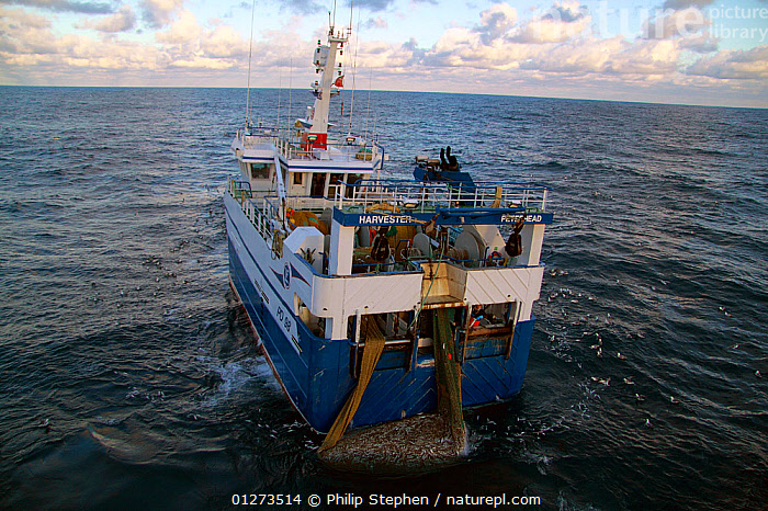 """""""Harvester"""" taking a good catch of Haddock onboard. North Sea, January 2010.  ,  COD,EUROPE,FISH,FISHING BOATS,HIGH ANGLE SHOT,MARINE,OSTEICHTHYES,PROCEDURES,REAR VIEWS,TRAWLERS,VERTEBRATES,BOATS, WORKING-BOATS  ,  Philip Stephen"""