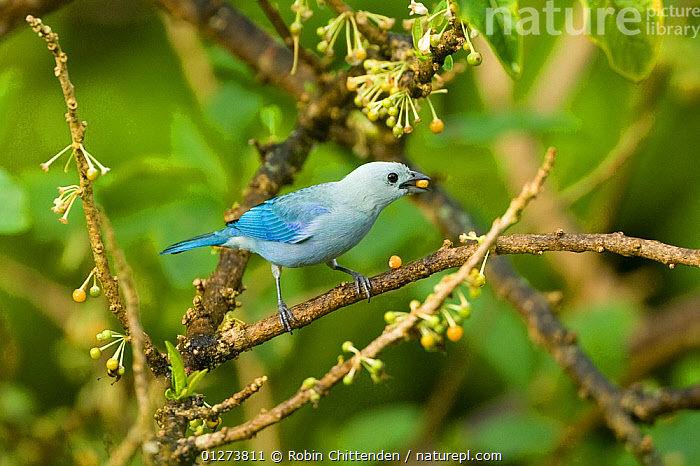 Blue-grey tanager (Thraupis episcopus) feeding, Trinidad, April  ,  BIRDS,BLUE,CARIBBEAN,FEEDING,FRUIT,TANAGERS,VERTEBRATES,WEST INDIES,Plants  ,  Robin Chittenden