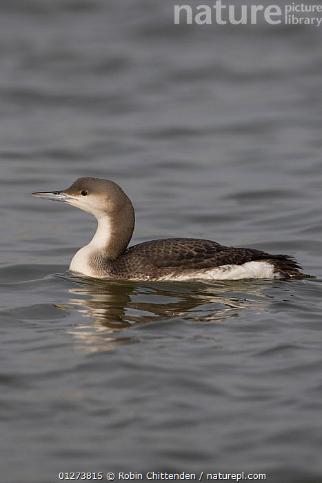 Black throated diver (Gavia arctica) on water, Oulton Broad, Suffolk, England, February  ,  BIRDS,DIVERS,EUROPE,LOONS,PROFILE,UK,VERTEBRATES,VERTICAL,WATERFOWL, United Kingdom  ,  Robin Chittenden