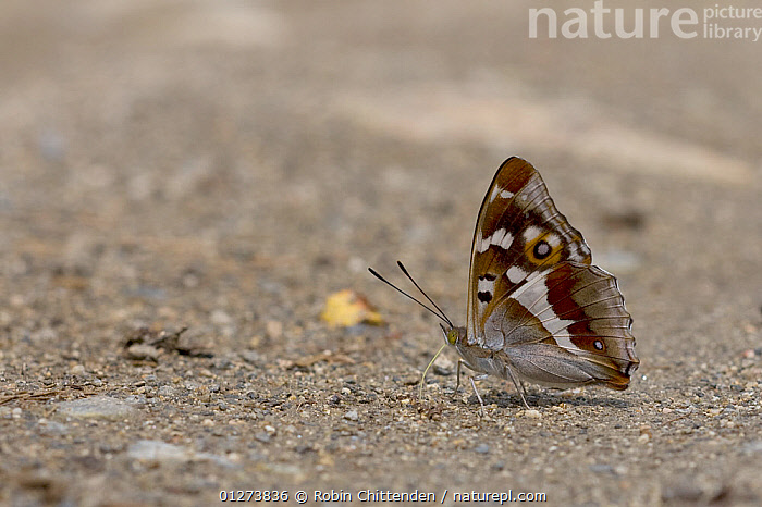 Purple emperor butterfly (Apatura iris) on ground, Hautes-Pyrenees, France, July  ,  ARTHROPODS,BUTTERFLIES,CUTOUT,EUROPE,FRANCE,INSECTS,INVERTEBRATES,LEPIDOPTERA  ,  Robin Chittenden