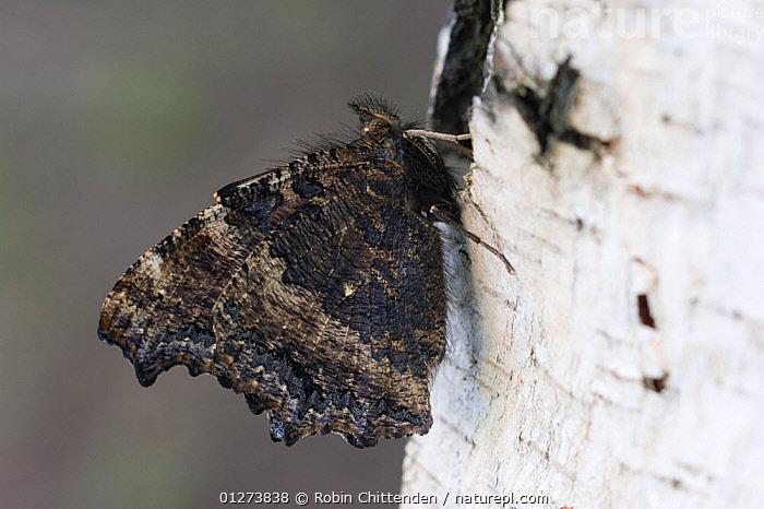 Yellow legged tortoiseshell butterfly (Nymphalis xanthomelas) on tree, Hungary, June  ,  BUTTERFLIES, EASTERN-EUROPE, EUROPE, HUNGARY, INSECTS, INVERTEBRATES, LEPIDOPTERA, WINGS  ,  Robin Chittenden
