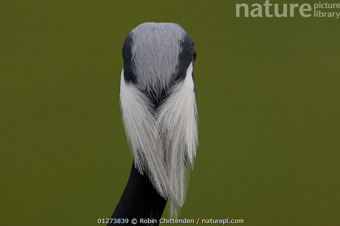 Rear view of Demoiselle crane (Anthropoides virgo) close-up of head, captive, Pensthorpe, Norfolk, England, January  ,  BIRDS,CRANES,CRYPTIC,CUTOUT,FEATHERS,HEADS,VERTEBRATES,Europe  ,  Robin Chittenden