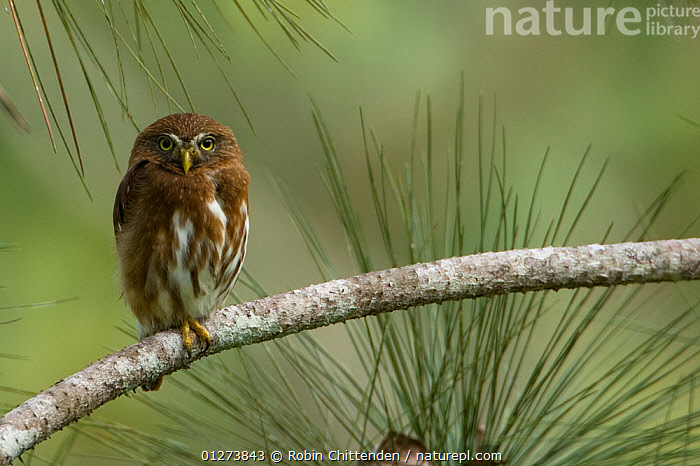 Ferruginous pygmy owl (Glaucidium brasilianum) perched on branch, Trinidad, April  ,  BIRDS,BIRDS OF PREY,CARIBBEAN,CUTE,OWLS,VERTEBRATES,WEST INDIES,Raptor  ,  Robin Chittenden