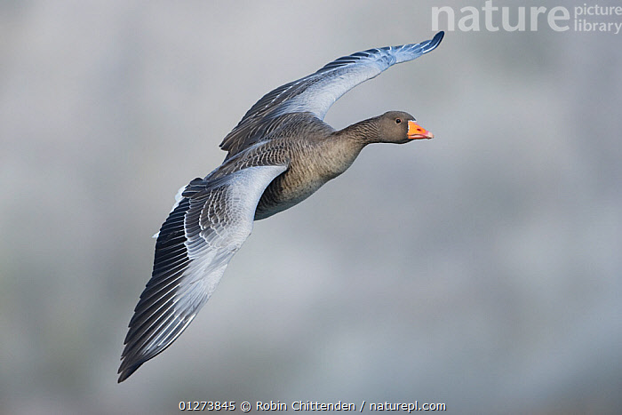 Greylag goose (Anser anser) in flight, Whitlingham CP, Norfolk, January  ,  BIRDS,CUTOUT,EUROPE,FLYING,GEESE,UK,VERTEBRATES,WATERFOWL,WINGS, United Kingdom,Wildfowl  ,  Robin Chittenden
