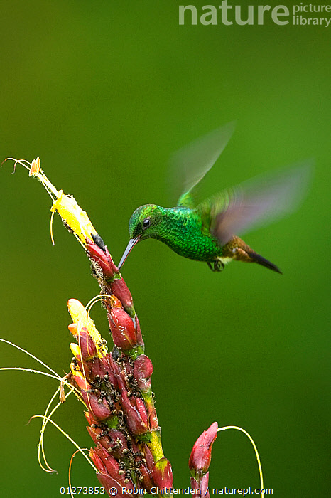 Copper rumped hummingbird (Amazilia / Saucerottia tobaci) feeding, Trinidad, April  ,  BEHAVIOUR,BIRDS,CARIBBEAN,FEEDING,FLYING,GREEN,HUMMINGBIRDS,MOVEMENT,VERTEBRATES,VERTICAL,WEST INDIES  ,  Robin Chittenden