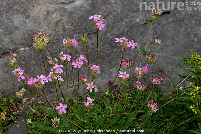 Tufted soapwort (Saponaria caespitosa) in flower, Hautes-Pyrenees France, July  ,  CARYOPHYLLACEAE,DICOTYLEDONS,EUROPE,FLOWERS,FRANCE,PINK,PLANTS  ,  Robin Chittenden