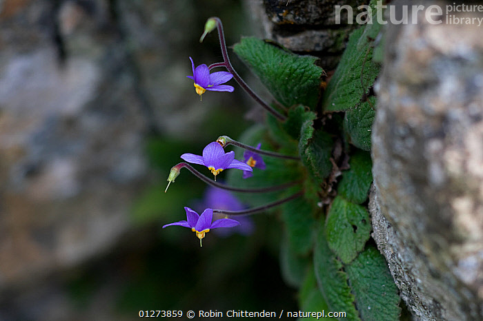 Ramonda (Ramonda myconi) in flower, Hautes-Pyrenees, France, July  ,  DICOTYLEDONS,EUROPE,FLOWERS,FRANCE,GESNERIACEAE,PLANTS,PURPLE  ,  Robin Chittenden