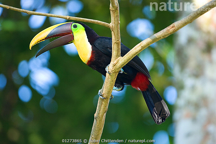 Black mandibled / Yellow-throated toucan (Ramphastos ambiguus) perched in tree, Costa Rica, March  ,  BIRDS,CENTRAL AMERICA,COSTA RICA,LOW ANGLE SHOT,TOUCANS,VERTEBRATES,VOCALISATION  ,  Robin Chittenden