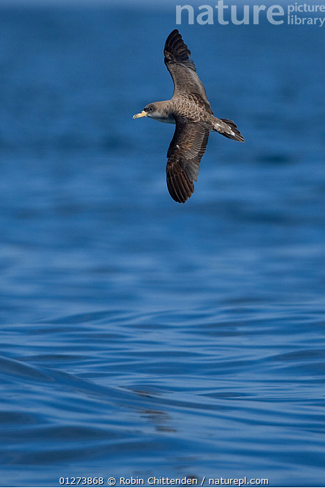 Cory�s shearwater (Calonectris diomedea borealis) in flight over water, Portugal, October  ,  BIRDS,EUROPE,FLYING,PORTUGAL,SEABIRDS,SHEARWATERS,VERTEBRATES,VERTICAL,WATER  ,  Robin Chittenden