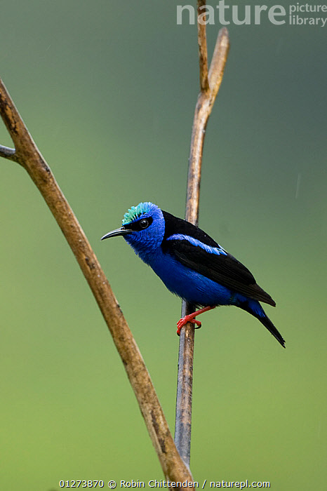 Red legged honeycreeper (Cyanerpes cyaneus) perched on branch, Trinidad, April  ,  BIRDS,BLUE,CARIBBEAN,CUTOUT,HONEYCREEPERS,VERTEBRATES,VERTICAL,WEST INDIES  ,  Robin Chittenden