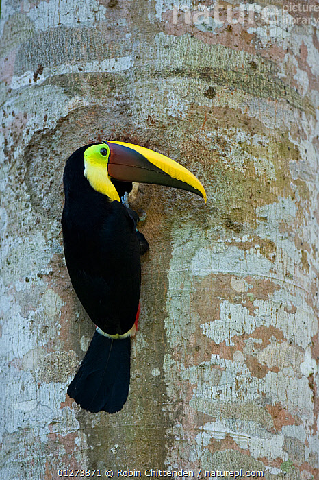 Black mandibled / Yellow-throated toucan (Ramphastos ambiguus) on tree trunk, Costa Rica, March  ,  BIRDS,CENTRAL AMERICA,COSTA RICA,TOUCANS,TREES,TRUNKS,VERTEBRATES,VERTICAL,PLANTS  ,  Robin Chittenden