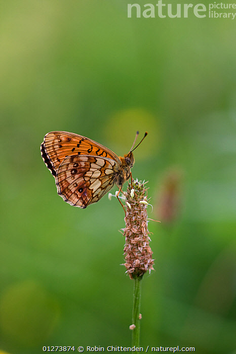 Lesser marbled fritillary (Brenthis ino) on Plantain (Plantago sp) seed head, Hautes-Pyrenees, France, June  ,  ARTHROPODS,BUTTERFLIES,CUTOUT,DICOTYLEDONS,EUROPE,FRANCE,INSECTS,INVERTEBRATES,LEPIDOPTERA,PLANTAGINACAEA,PLANTS,VERTICAL  ,  Robin Chittenden