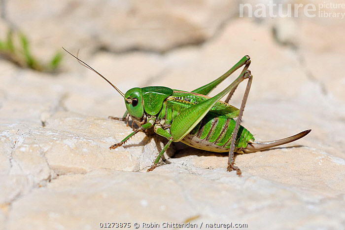 Wartbiter bush cricket (Decticus verrucivorus) Vercors, France, July  ,  bush crickets, EUROPE, FRANCE, GRASSHOPPERS, GREEN, INSECTS, INVERTEBRATES, KATYDIDS, LONG-HORNED-GRASSHOPPERS, ORTHOPTERA  ,  Robin Chittenden