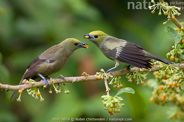 Two Palm tanagers (Thraupis palmarum) on branch feeding, Trinidad, April  ,  BIRDS,CARIBBEAN,FEEDING,FRUIT,TANAGERS,VERTEBRATES,WEST INDIES,Plants  ,  Robin Chittenden