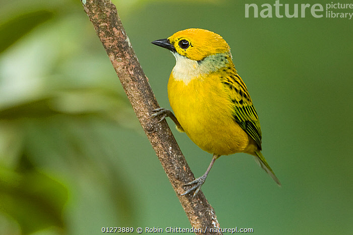 Silver throated tanager (Tangara icterocephala) on branch, Costa Rica, March  ,  BIRDS,CENTRAL AMERICA,COSTA RICA,TANAGERS,VERTEBRATES,YELLOW  ,  Robin Chittenden