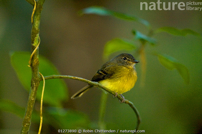 Tawny-chested flycatcher (Aphanotriccus capitalis) perched, Costa Rica, March, Vulnerable species  ,  BIRDS,CENTRAL AMERICA,COSTA RICA,ENDANGERED,FLYCATCHERS,VERTEBRATES  ,  Robin Chittenden