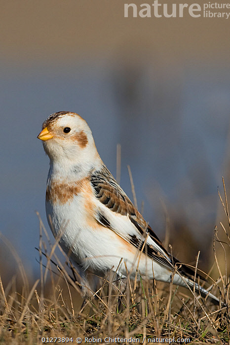 Snow bunting (Plectrophenax nivalis) portrait, Norfolk, England, February  ,  BIRDS,BUNTINGS,EUROPE,PORTRAITS,UK,VERTEBRATES,VERTICAL, United Kingdom  ,  Robin Chittenden