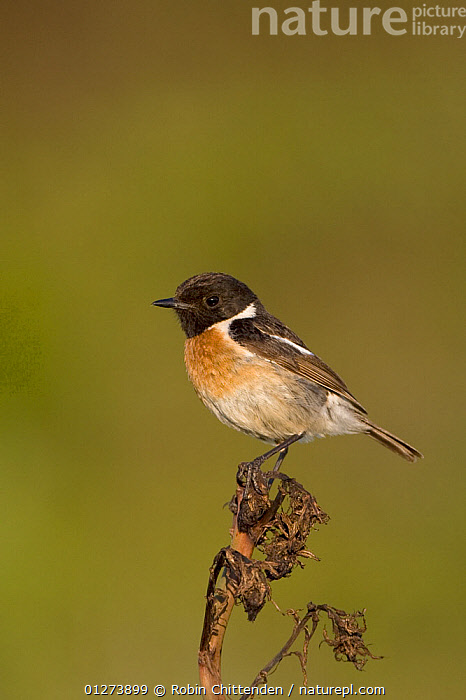Stonechat (Saxicola torquata) perched on top of dried plant, Son Bou, Menorca, Spain, May  ,  BIRDS,CHATS,CUTOUT,EUROPE,SAXICOLA RUBICOLA,SPAIN,VERTEBRATES,VERTICAL  ,  Robin Chittenden