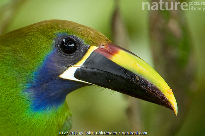 Blue throated toucanet (Aulacorhynchus prasinus caeruleogularis) portrait, Costa Rica, March  ,  BIRDS,CENTRAL AMERICA,COLOURFUL,COSTA RICA,HEADS,PORTRAITS,TOUCANS,VERTEBRATES  ,  Robin Chittenden