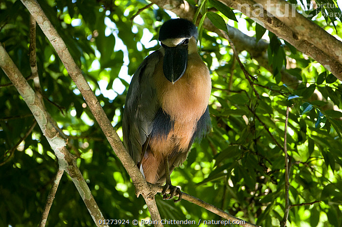Boat-billed heron (Cochlearius cochlearius) on branch, Costa Rica, March  ,  BIRDS,CENTRAL AMERICA,COSTA RICA,HERONS,VERTEBRATES  ,  Robin Chittenden