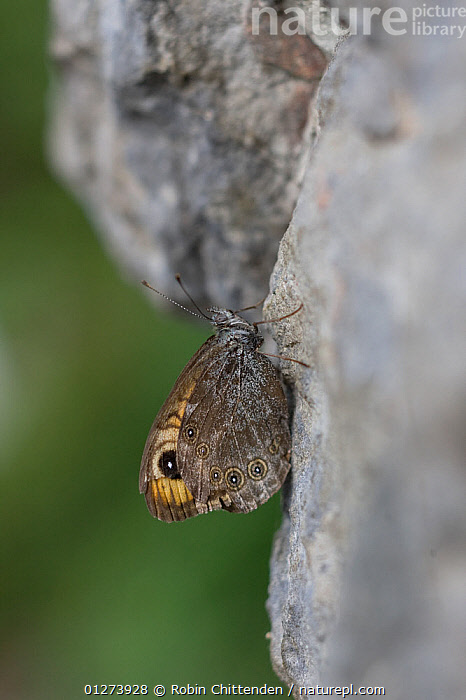 Large wall brown butterfly (Lasiommata maera) on wall, Vercors, France, July  ,  BUTTERFLIES,EUROPE,FRANCE,INSECTS,INVERTEBRATES,LEPIDOPTERA,SPOTS,VERTICAL,WINGS  ,  Robin Chittenden
