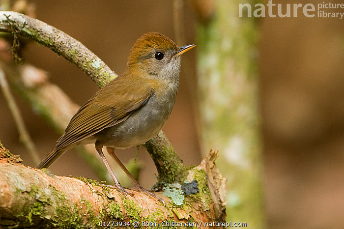Ruddy-capped nightingale-thrush (Catharus frantzii) on branch, Costa Rica, March  ,  BIRDS,CENTRAL AMERICA,COSTA RICA,THRUSHES,VERTEBRATES  ,  Robin Chittenden