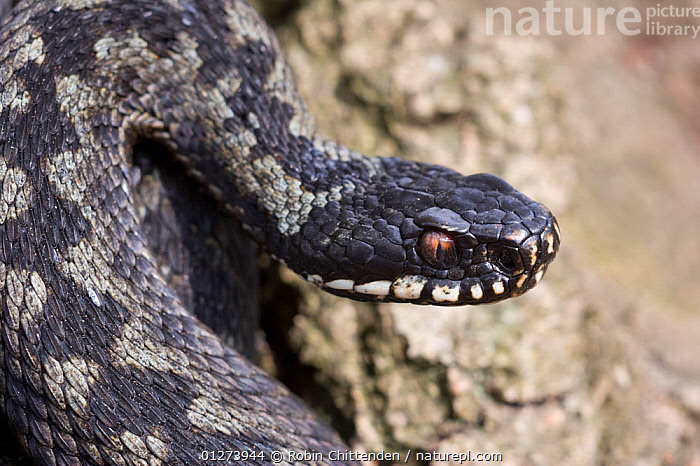 Adder (Vipera berus) Buxton Heath NWT, Norfolk, England, April  ,  EUROPE,EYES,HEADS,PATTERNS,REPTILES,SNAKES,UK,VERTEBRATES,VIPERS, United Kingdom, Adders  ,  Robin Chittenden