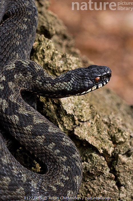 Adder (Vipera berus) on rock, Buxton Heath NWT, Norfolk, England, April  ,  EUROPE,PATTERNS,REPTILES,ROCKS,SNAKES,UK,VERTEBRATES,VERTICAL,VIPERS, United Kingdom, Adders  ,  Robin Chittenden