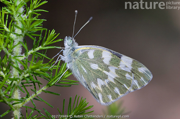 Bath white butterfly (Pontia daplidice) on plant, La Gomera, Canary Islands, July  ,  ARTHROPODS,ATLANTIC ISLANDS,BUTTERFLIES,CANARIES,CANARY ISLANDS,EUROPE,INSECTS,INVERTEBRATES,LEPIDOPTERA,PATTERNS,WINGS  ,  Robin Chittenden