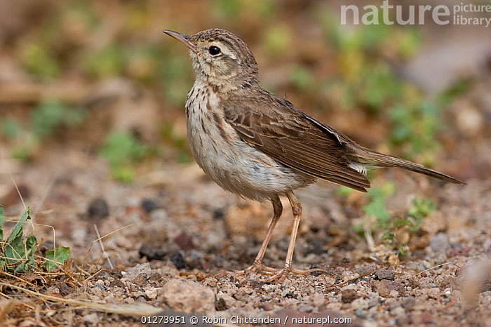 Berthelot's pipit (Anthus berthelotii) on ground, Madeira, Portugal, May  ,  BIRDS,EUROPE,PIPITS,PORTRAITS,PORTUGAL,PROFILE,VERTEBRATES  ,  Robin Chittenden