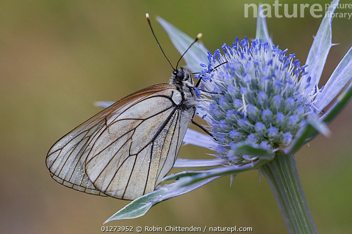 Female Black-veined white butterfly (Aporia crataegi) on flower, Pyrenees, France, July  ,  ARTHROPODS,BUTTERFLIES,EUROPE,FEMALES,FLOWERS,FRANCE,INSECTS,INVERTEBRATES,LEPIDOPTERA,PURPLE  ,  Robin Chittenden