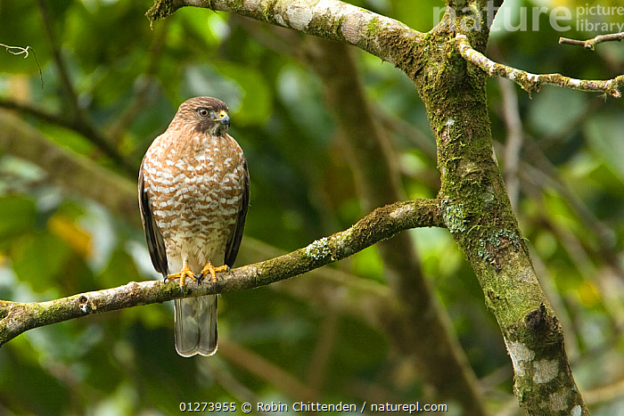 Broad-winged hawk (Buteo platypterus) in tree, Costa Rica, February  ,  BIRDS, BIRDS-OF-PREY, CENTRAL-AMERICA, costa-rica, HAWKS, VERTEBRATES  ,  Robin Chittenden