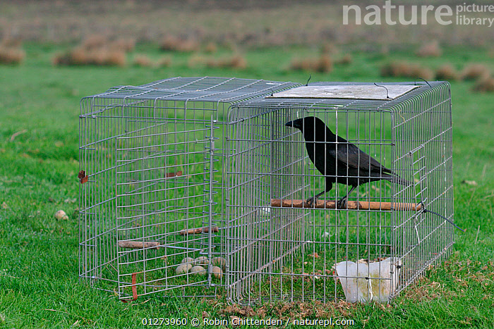 Larson trap with Carrion crow (Corvus corone) and eggs as bait, Northumberland, England, May  ,  BIRDS,CAGES,CORVIDS,CROWS,EGGS,EUROPE,TRAPS,UK,VERTEBRATES, United Kingdom  ,  Robin Chittenden