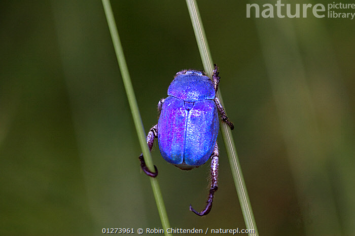 Male Cerulean chafer beetle (Hoplia caerulea) between two stems, France, July  ,  BEETLES,BLUE,CHAFERS,CLIMBING,COLEOPTERA,EUROPE,FRANCE,INSECTS,INVERTEBRATES,MALES  ,  Robin Chittenden