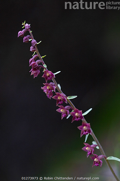 Dark red helleborine (Epipactis atrorubens) flower, Pyrenees, France, July  ,  EUROPE,FLOWERS,FRANCE,MONOCOTYLEDONS,ORCHIDACEAE,ORCHIDS,PLANTS,RED,VERTICAL  ,  Robin Chittenden