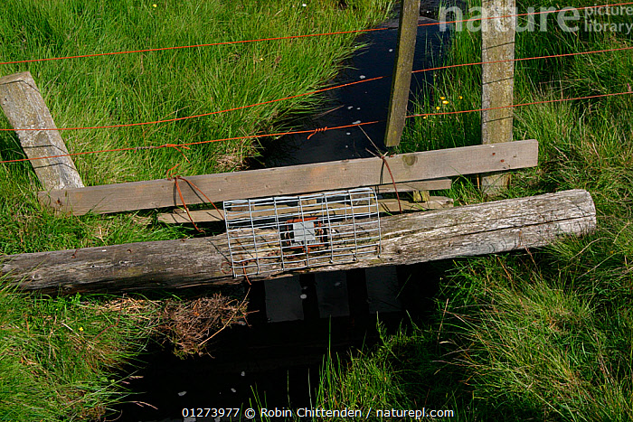 Fen trap over stream, Otterburn, Northumberland, June  ,  EUROPE,PESTS,STREAMS,TRAPS,UK, United Kingdom  ,  Robin Chittenden