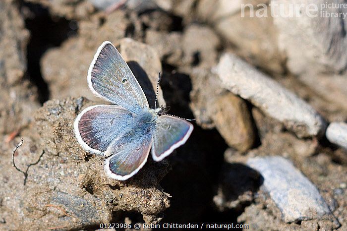 Male Arctic/Glandon blue butterfly (Plebejus glandon) France, July  ,  BUTTERFLIES, EUROPE, FRANCE, INSECTS, INVERTEBRATES, LEPIDOPTERA, MALES, WINGS  ,  Robin Chittenden
