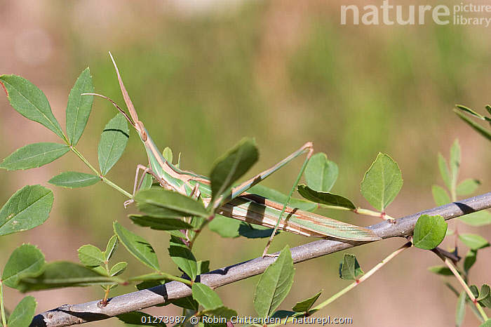 Grasshopper (Acrida ungarica) amongst leaves, Portugal, May  ,  CAMOUFLAGE,EUROPE,GRASSHOPPERS,INSECTS,INVERTEBRATES,LEAVES,ORTHOPTERA,PORTUGAL,SHORT HORNED GRASSHOPPERS  ,  Robin Chittenden