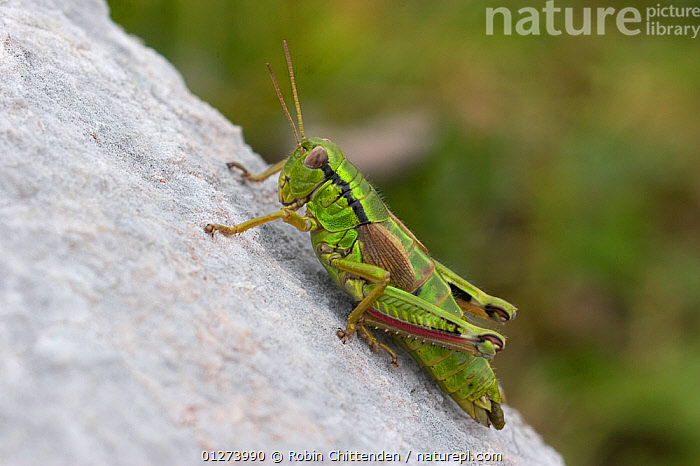 Green mountain grasshopper (Miramella alpina) Austria, September  ,  AUSTRIA,EUROPE,GRASSHOPPERS,GREEN,INSECTS,INVERTEBRATES,ORTHOPTERA,ROCKS,SHORT HORNED GRASSHOPPERS  ,  Robin Chittenden