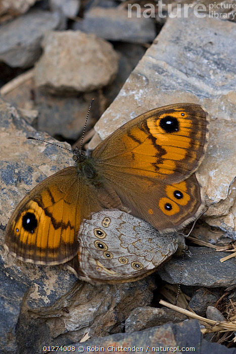 Large wall brown butterfly (Lasiommata maera) pair mating, Pyrenees, France, July  ,  BEHAVIOUR,BUTTERFLIES,COPULATION,EUROPE,FRANCE,INSECTS,INVERTEBRATES,LEPIDOPTERA,MALE FEMALE PAIR,VERTICAL,Reproduction  ,  Robin Chittenden