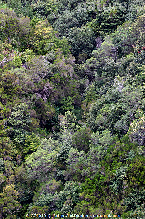 Laurel forest, Madeira, Portugal, May 2005  ,  DICOTYLEDONS,EUROPE,FORESTS,HIGH ANGLE SHOT,LANDSCAPES,LAURACEAE,PLANTS,TREES,VERTICAL  ,  Robin Chittenden