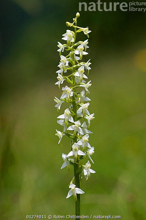 Lesser butterfly orchid (Platanthera bifolia) in flower, Pyrenees, France, July  ,  EUROPE,FLOWERS,FRANCE,MONOCOTYLEDONS,ORCHIDACEAE,ORCHIDS,PLANTS,VERTICAL,WHITE  ,  Robin Chittenden
