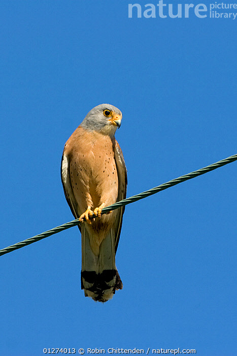 Male Lesser kestrel (Falco naumanni) perched on wire, Kos, Greece, May  ,  BIRDS,BIRDS OF PREY,CUTOUT,EUROPE,FALCONS,GREECE,LOW ANGLE SHOT,MALES,VERTEBRATES,VERTICAL  ,  Robin Chittenden