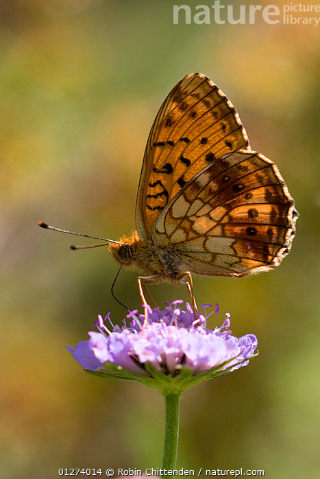 Lesser marbled fritillary butterfly (Brenthis ino) feeding on flower, Pyrenees, France, July  ,  ARTHROPODS,BUTTERFLIES,EUROPE,FEEDING,FLOWERS,FRANCE,INSECTS,INVERTEBRATES,LEPIDOPTERA,PROFILE,VERTICAL,WINGS  ,  Robin Chittenden