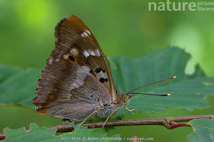 Male Lesser purple emperor butterfly (Apatura iris) on twig, Zemplen Hills, Hungary, July  ,  ARTHROPODS,DRAGONFLIES,EASTERN EUROPE,EUROPE,HUNGARY,INSECTS,INVERTEBRATES,LEAVES,MALES,ODONATA,WINGS  ,  Robin Chittenden